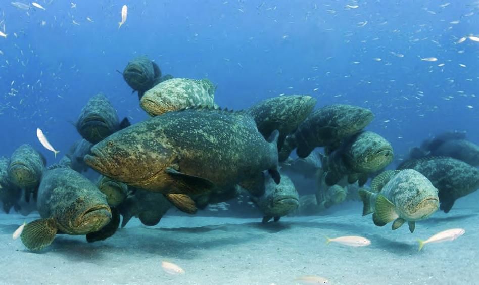 The Amazing Goliath Grouper